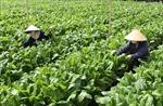 Bỉ giúp Lâm Đồng sản xuất rau – hoa an toàn