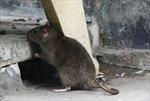 Hiểm họa từ 'giặc' chuột mang mầm bệnh suy thận cấp