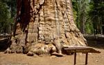 Kinh ngạc cây 3.200 tuổi cao bằng nhà 20 tầng