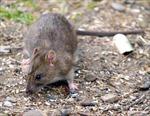 Chuột có thể truyền virút hanta qua không khí
