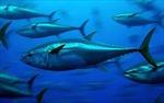 Thái Bình Dương cạn kiệt cá ngừ