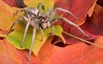 Đằng sau những cuộc 'tàn sát mây mưa' của loài nhện.