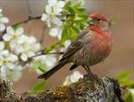 Chim dùng thuốc lá để đuổi kí sinh trùng?