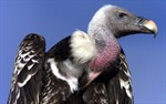 Bắt được 'chim kền kền do thám cho Israel'