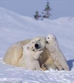 Gia đình gấu trắng vui đùa trong tuyết
