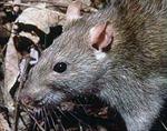 Cuộc thảm sát... chuột lớn nhất trong lịch sử