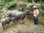Chủ động chống rét cho gia súc