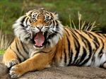 Trung Quốc đưa hổ nuôi Syberia về tự nhiên