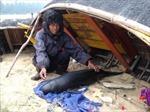 Cá voi dạt vào bờ biển Quảng Bình đã chết