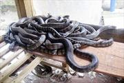 """Người """"tiên phong"""" nuôi rắn ở Long An"""