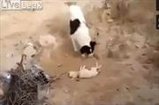 Cảm động chó mẹ đào đất chôn con