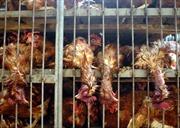 Quảng Ninh bắt 6,8 tấn gà lậu Trung Quốc