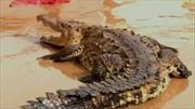 Sau bão, cá sấu tràn vào thành phố 'nổi loạn'