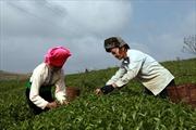 Công ty cổ phần chè Cờ Đỏ Mộc Châu: Đồng hành cùng bà con để phát triển bền vững