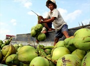 Nguy cơ mai một cây dừa Hậu Giang