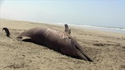 Cá heo chết hàng loạt tại bờ biển Peru