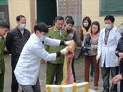 Tiêu hủy 700kg lợn sữa không rõ nguồn gốc