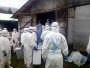 Nguy cơ bùng phát cúm gia cầm ở Nhật Bản