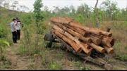 Đắk Lắk: Dân ồ ạt phá rừng lấy gỗ làm trụ tiêu