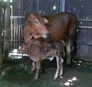 Lai tạo thành công giống bò Úc tại Việt Nam