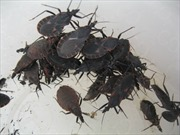 Bệnh nhân ngộ độc nghi do ăn bọ xít đen xuất viện