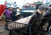 Phú Yên sản xuất cá ngừ theo chuỗi giá trị