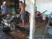 Chấm dứt nuôi cá tra tự phát