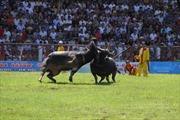 Trận đánh hấp dẫn nhất hội chọi trâu Đồ Sơn 2014