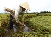 Khẩn trương thu hoạch lúa sớm để tránh bão
