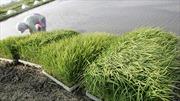 """Khó khăn """"giải tiếng oan"""" nhiễm xạ cho gạo Fukushima"""