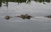 Tìm kiếm cá sấu sổng vào hồ Trị An