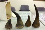 Phát hiện lô sừng tê giác lậu tại sân bay Nội Bài