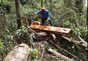Đau lòng gỗ quý khu rừng giáp ranh Đắk Lắk và Gia Lai bị tận diệt