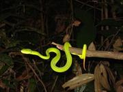 Mùa mưa, càng nhiều người bị rắn lục đuôi đỏ cắn