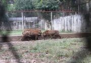 Thanh Hóa báo cáo về trại nuôi hổ để hổ vồ bé trai 13 tuổi