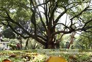 Hai cây long não tại Biệt điện Bảo Đại là Cây di sản Việt Nam