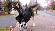 Chú chó khuyết tật chạy nhảy với đôi chân 3D