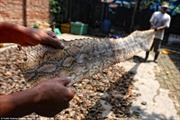 Kinh hoàng trại lột da rắn làm túi ở Indonesia