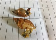 Xác minh loại ốc lạ khiến ba ngư dân tử vong