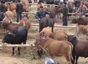 Ô nhiễm tại chợ trâu bò lớn nhất miền Bắc