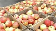 Chưa có táo nhiễm vi khuẩn nhập từ Mỹ