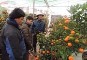 Quất bonsai hút khách dịp Tết