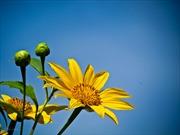 Đà Lạt - Mùa hoa dã quỳ