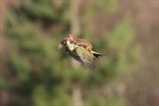 Kị sĩ chồn cưỡi chim gõ kiến trong công viên