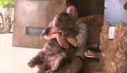 Gặp chú gấu túi lớn nhất thế giới