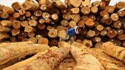 Phá rừng ảnh hưởng nghiêm trọng tới các bộ lạc Malaysia
