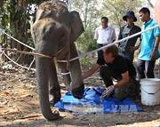 Chi tiền tỷ để bảo tồn, voi vẫn chết