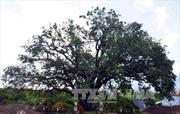 Cây xoài 300 năm tuổi được công nhận Cây di sản Việt Nam