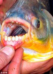 Đi câu bắt được cá chuyên cắn 'của quý'