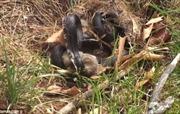 Thỏ mẹ hỗn chiến với rắn để cứu con
